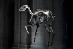 """O cavalo de batalha de Napoleão """"Marengo"""" gera indignação"""