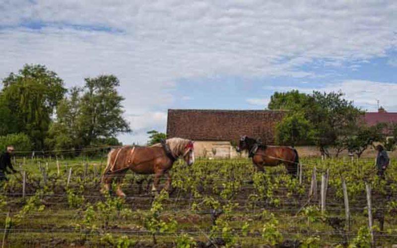Vinhas francesas redescobrem o poder dos cavalos de tração