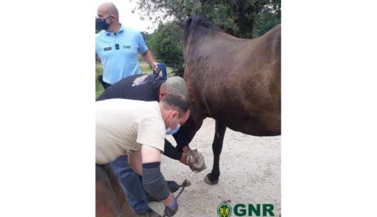 GNR resgata cavalo abandonado há 15 anos em Ferreira do Zêzere