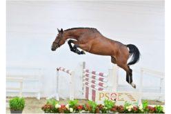 PS Auction Online: A melhor oportunidade de negócio de Cavalos de Saltos (VÍDEO)