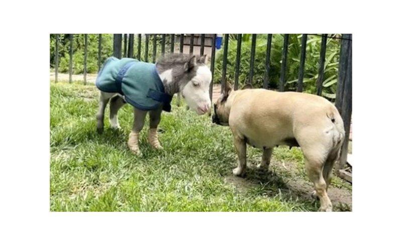 «Peabody» o cavalo mais pequeno do mundo (VÍDEO)