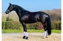«Zonik Plus» pré-seleccionado para o Campeonato do Mundo de Cavalos Novos de Dressage