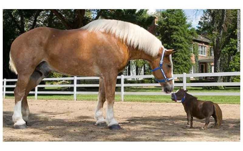 Morreu Big Jake, o cavalo mais alto do mundo