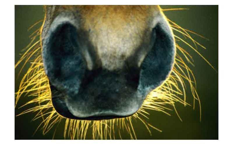 Cavalos com pêlos sensoriais rapados serão excluídos dos eventos internacionais