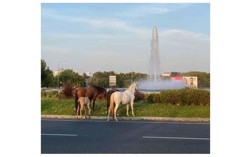 Cavalos à solta nas ruas da Amadora…