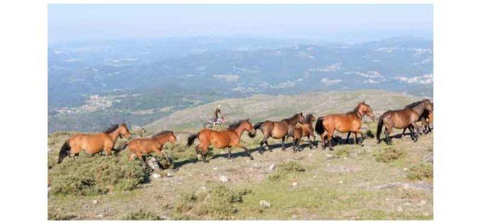 Cavalos garranos foram libertados no Parque Natural Sintra (VÍDEO)